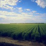Wheat fields in Obregon, taken by Australian researcher Lee Hickey