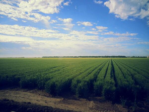 Wheat fields in Obregon, taken by Australian researcher Lee Hickey