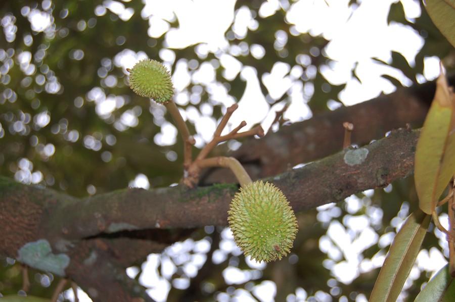 Fruitlets