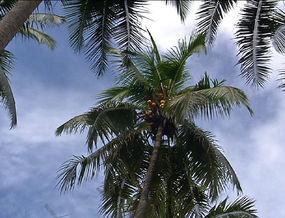 Coconut Comeback